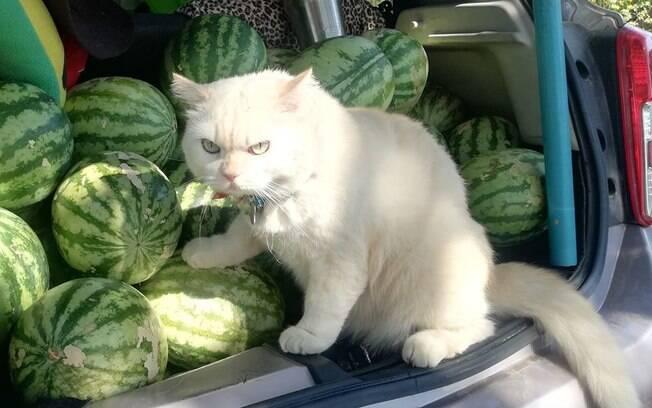 Gato se torna protetor de fazenda de melancias por ter olhar intimidador