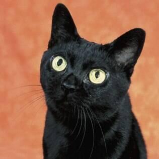 Bombaim saiba mais no guia de bichos canal do pet - La loja del gato ...