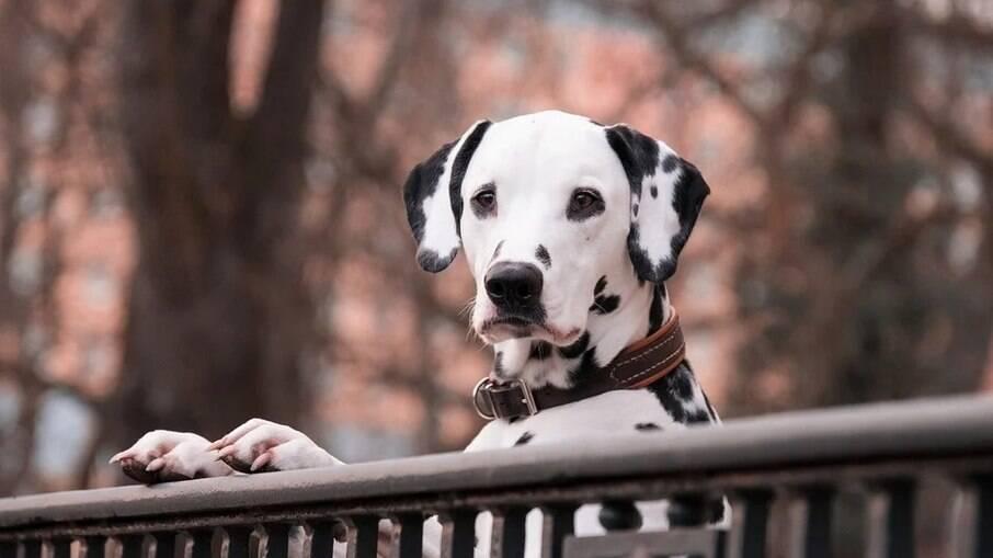 Dálmatas são cães cheios de energia e precisam de espaço para exercícios