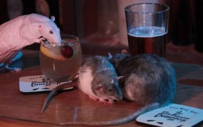 Ratos andam normalmente pelo bar e tomam os mesmos drinks que os clientes