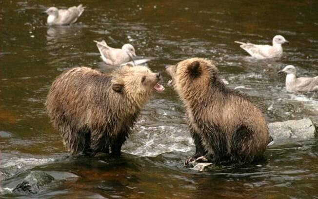 Glendale Cove, no Canadá, é perfeito para fotografar ursos