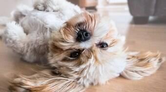 Saiba 6 curiosidades sobre a raça de cachorro Lhasa Apso