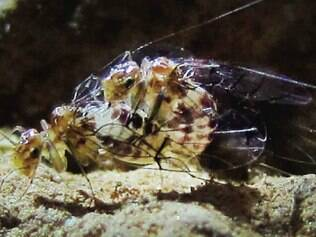 A fêmea sempre fica por cima no acasalamento, que pode durar até 70 horas