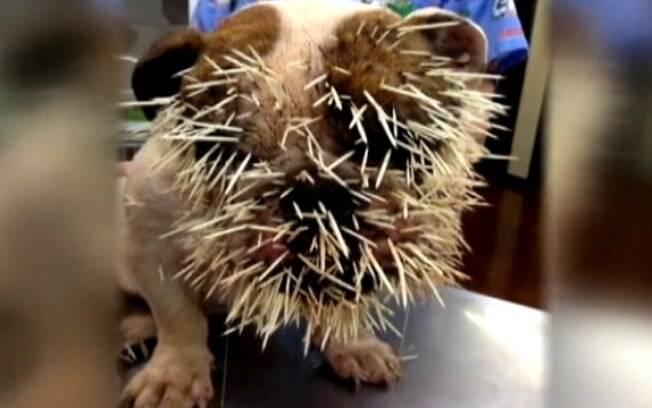 Já foram retirados 500 espinhos do corpo da cadela, que foi atacada por um porco-espinho