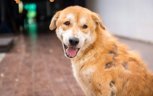 A dermatite canina causa a queda de pelos