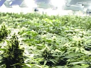 São mais de 50 mil pés de maconha no galpão de plantio da empresa canadense Tweed Marijuana