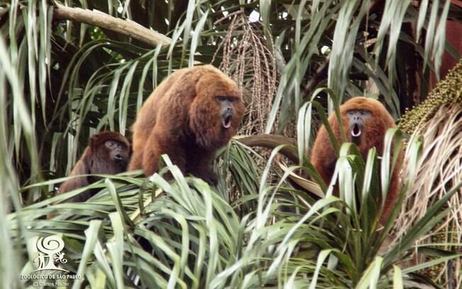 Macacos bugio do zoológico de São Paulo, na zona sul da cidade; animais podem ser vítimas de febre amarela