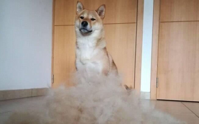 O Shiba Inu Sumi não gostou muito da brincadeira do dono