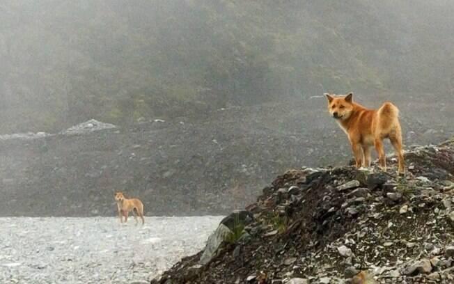 Espécie de cães cantores de Nova Guiné, que pensava-se estar extinta há mais de 50 anos, é reencontrada na Austrália