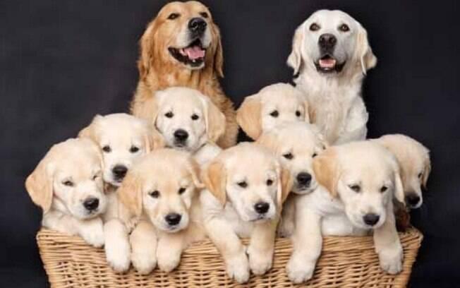 Uma das raças de cachorros fofos que faz mais sucesso