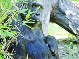 Imbi está na fase final de gestação do segundo gorilinha do zoo