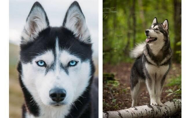 O Husky Siberiano é uma das raças mais citadas quando o assunto é o cachorro mais bonito do mundo