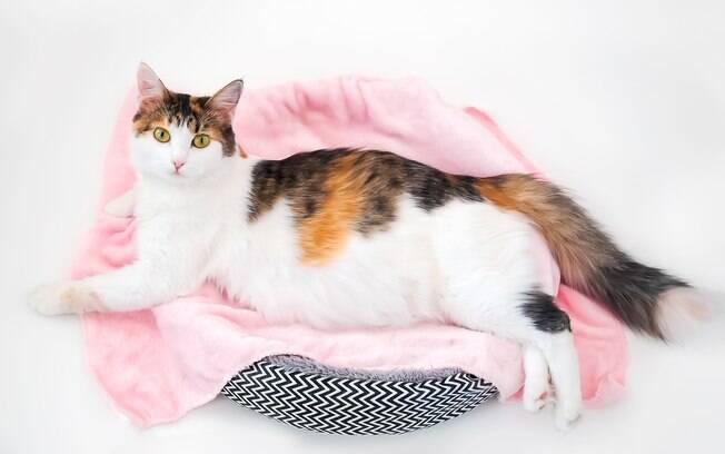 Durante a gestação de uma gata grávida os cuidados com a dieta devem aumentar, garantindo que a mamãe e os filhotes tenham saúde plena