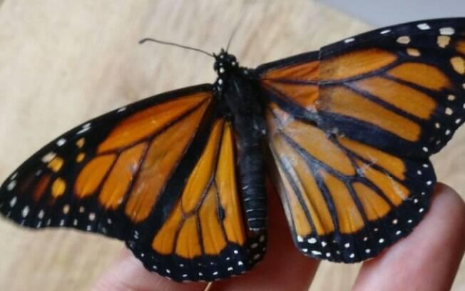 O resultado do transplante de asa feito na borboleta foi satisfatório