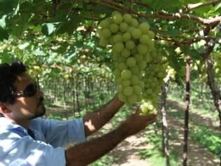 Na fazenda Rio Sol, o visitante pode colher a fruta no pé e, sem cerimônia, degustá-la sob o parreiral