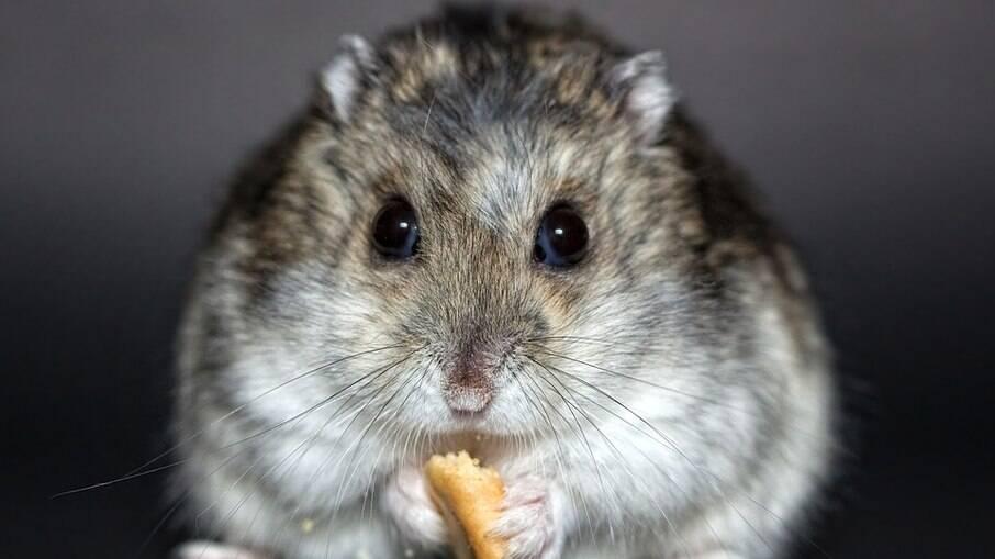 Hamster estão sempre roendo algo para manter os dentes aparados