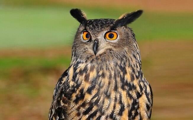 16 fatos que você não sabia sobre as corujas