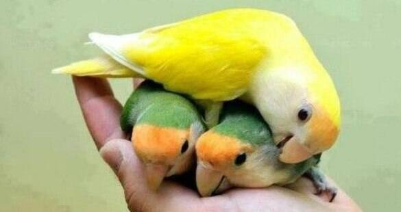 Aprenda a cuidar de pássaros de estimação