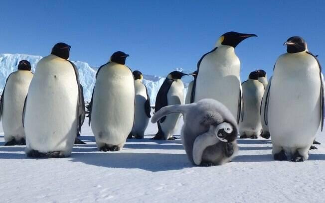 Casais de pinguins brigam pela posse de um filhote em zoológico da Dinamarca
