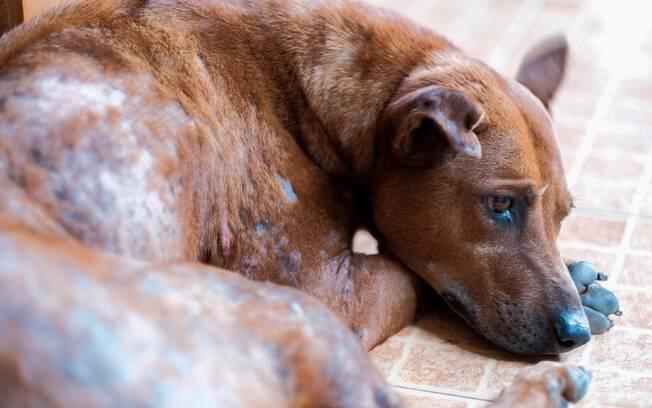 A escabiose canina pode causar queda de pelo e lesões na pele dos pets.