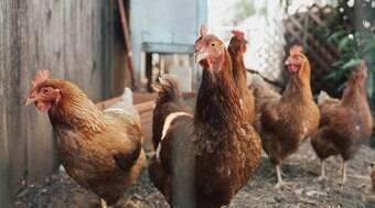 Pessoas que adotaram galinhas agora estão se livrando delas
