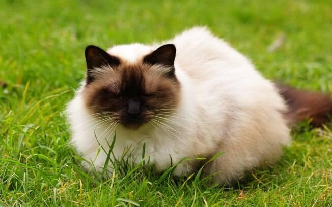O himalaia é uma mistura das raças de gatos siamês e persa