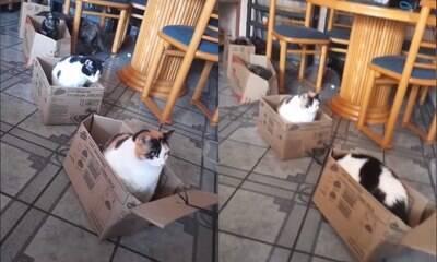 Brasileiro viraliza com trenzinho de papelão para seus gatos