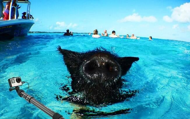 Os porcos se tornaram uma grande atração turística