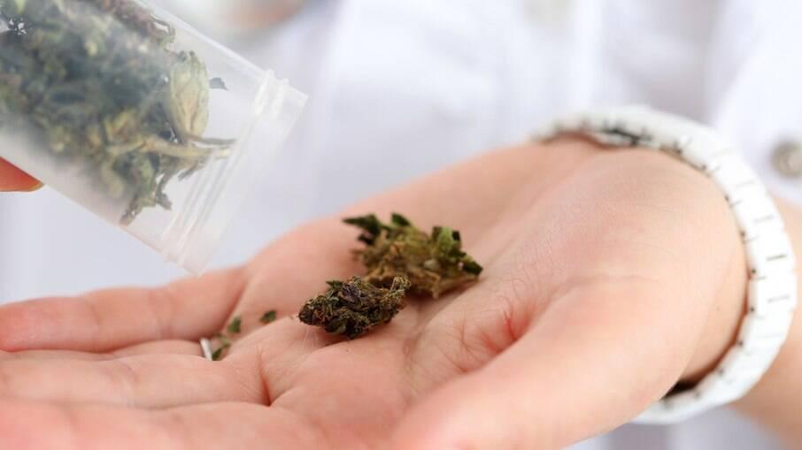 Liberação do cultivo da maconha para uso medicinal e industrial é aprovado