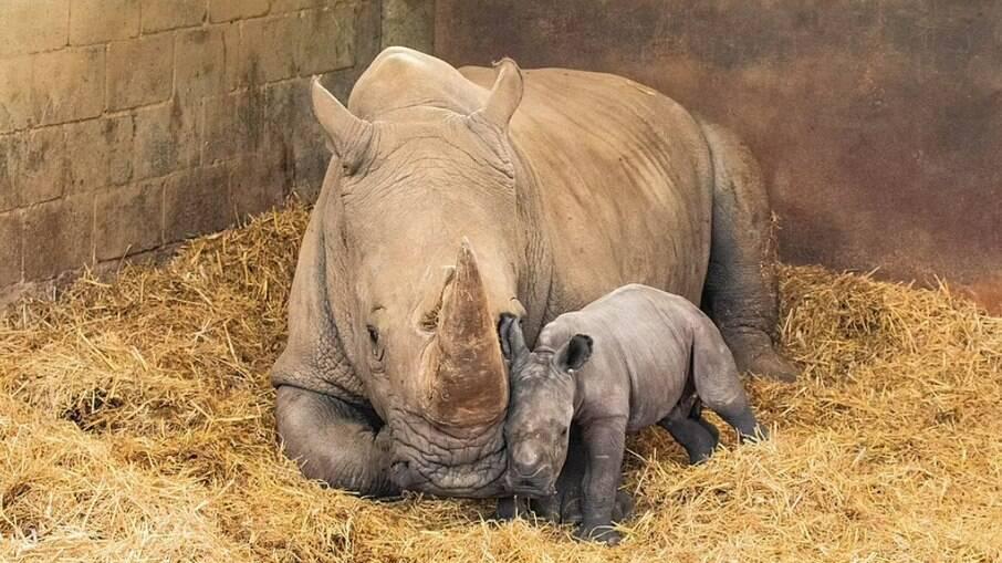 Nandi, que significa doce em zulu, nasceu às 4 da manhã de 21 de agosto no Zoológico ZSL Whipsnade