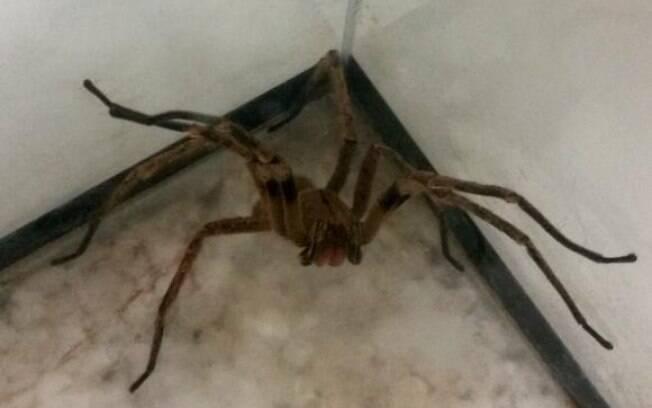 Veneno da aranha armadeira pode desenvolver remédio para disfunção erétil