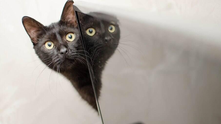 Gatos ronronam quando se sentem confortáveis