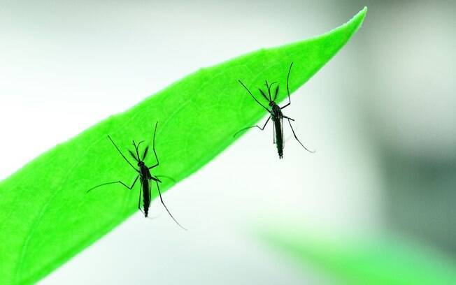 Mosquito Aedes aegypti é responsável por transmitir a dengue, zika e a febre chikungunya