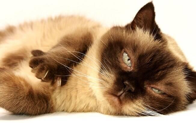 A obesidade dos gatos pode ser camuflada pela quantidade de pelos que eles tem, principalmente na região da barriga