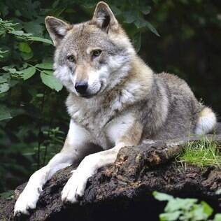 Os lobos foram  uns dos primeiros a fazer parte da domesticação de animais.