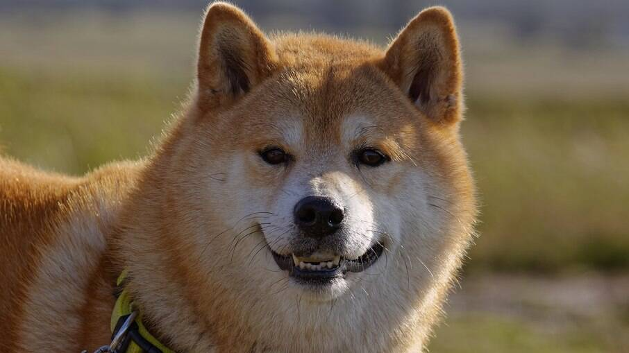 O Shiba Inu é muito popular no Japão