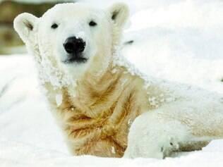 """Únicos. Ursos polares, ao contrários dos """"primos"""" ursos pardos, têm genética que permite o sobrepeso com saúde"""