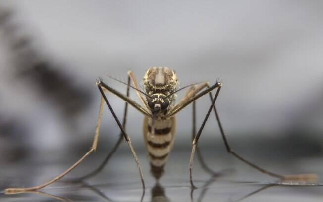 Atualmente, só os mosquitos Haemagogus e Sabethes transmitem o vírus da febre amarela em São Paulo e pelo País
