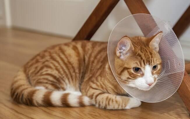 Comprar um colar Elizabetano pode ajudar se o gato lamber o morder a ferida