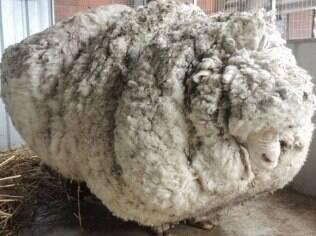 Carneiro desgarrado rende 40 kg de lã