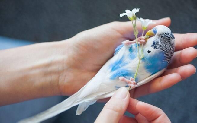 O periquito é uma ave fácil de cuidar e indicada para viver em cativeiro