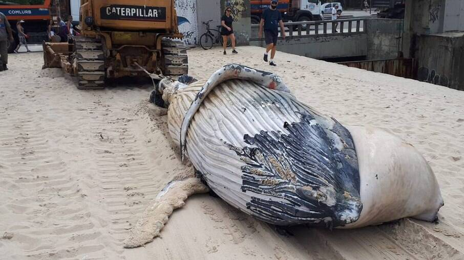 Baleia é retirada da Praia do Leblon