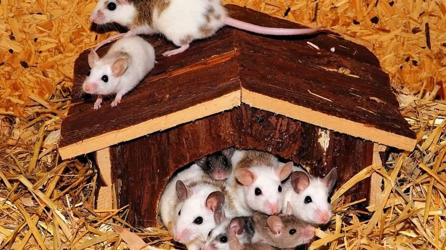 Uma pequena família de camundongos