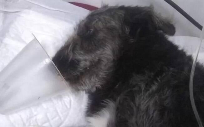 Cachorro é internado após salvar menina de ataque de cobra