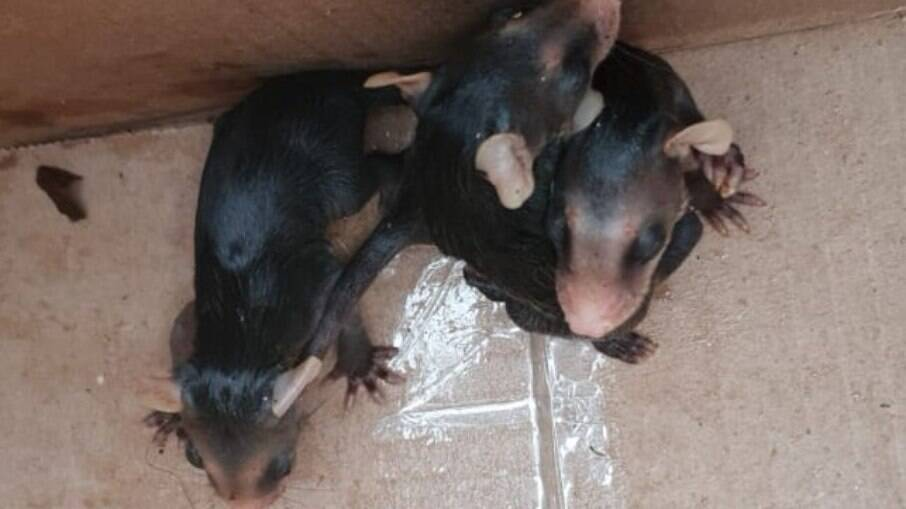 Filhotes foram encaminhados ao Centro de Pesquisa e Triagem de Animais Selvagens (CEPTAS)