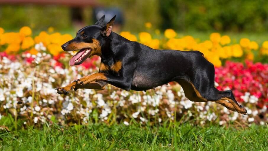 Carnivac-Cov gera anticorpos em cães, gatos, raposas e visons
