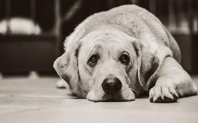 A leptospirose canina deixa o animal abatido e com depressão
