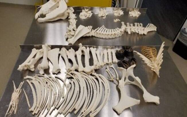 Esqueleto de cavalo encontrado por funcionários do sistema de correio da Flórida, nos EUA