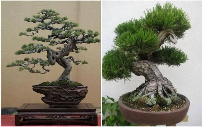Os bonsais são mini árvores que dão um toque curioso ao ambiente, mas exigem bastante cuidado e atenção