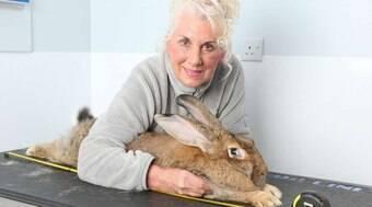 Dona do maior coelho do mundo oferece R$ 7,7 mil pelo pet